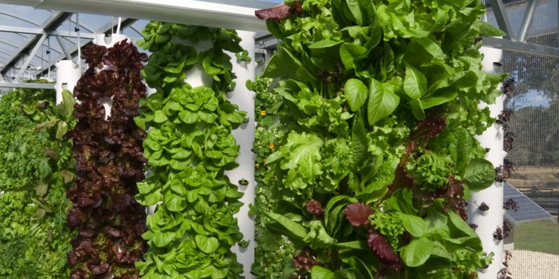 An abundant crop of lettuce at the Living Towers greenhouse.