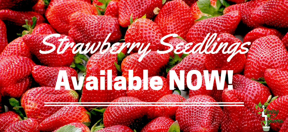 Strawberry seedlings now available