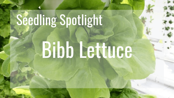 Seedling Spotlight - Bibb