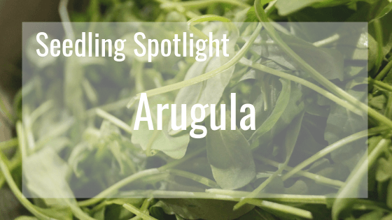 Seedling Spotlight - Arugula