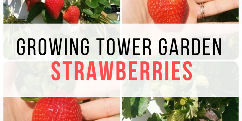 Growing Strawberries in the Tower Garden